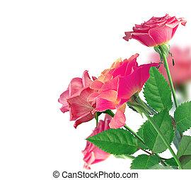 vacker, rosa rosa, gräns, över, vit