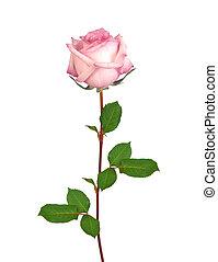 vacker, singel, rosa rosa, isolerat, vita