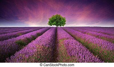 vacker, sommar, kontrastera, avbild, träd, lavenderfält, ...