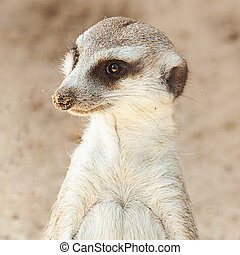 vacker, stående, suricata, zoo