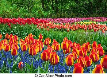 vacker, tulpan, in, fjäder, trädgård