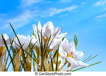 vacker, vår blommar, på, blåttsky, bakgrund