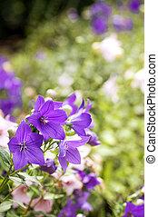 vacker, viol blommar