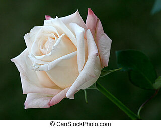 vacker, vita rosa