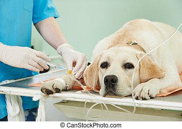vacunación, clínica, ladrador, perro, debajo