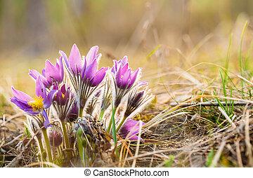 vad, fiatal, pasqueflower, alatt, korán, spring., menstruáció, pulsatilla, patens
