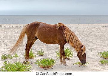 vad, póni, assateague