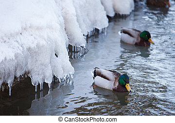 vadkacsa, vízi madár, úszás, alatt, kicsi, jeges, tavacska