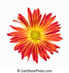 vagabond, blanc, chrysanthème, rouges, vibrant