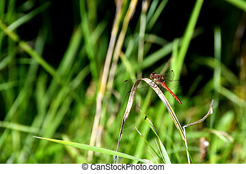 vagrant darter on a grass in autumn in Germany