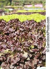 vaj fő, növényi, alatt, hydroponic, tanya
