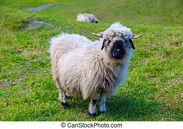 valais, blacknose, sheep, em, alpes