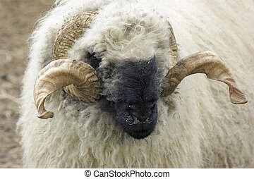 valais, blacknose, sheep
