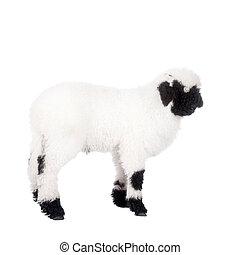 Valais lamb On White - Funny Valais lamb Isolated On White...