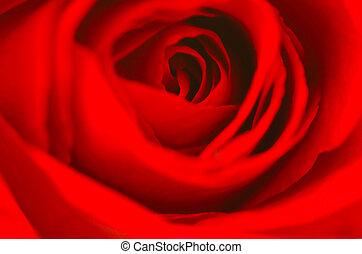 valentin, rose rouge