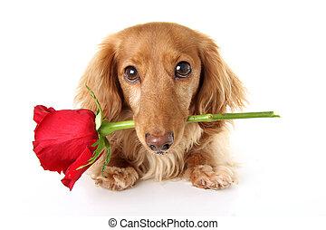 Valentine Dachshund puppy - Valentines day dachshund puppy...