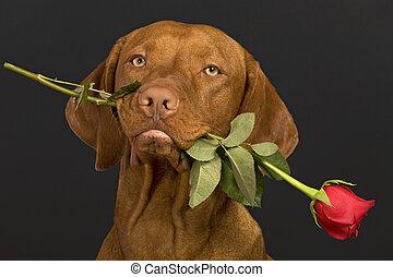 valentine, hund