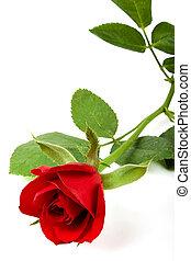 Valentine rose - Single valentines velvet rose on white,