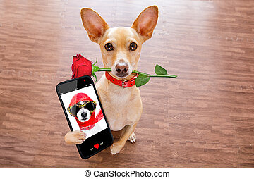 valentines dog in love with rose in mouth - chihuahua dog in...