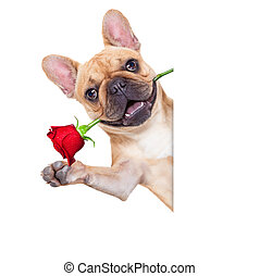 valentines dog in love with you , with a red rose in mouth ,...