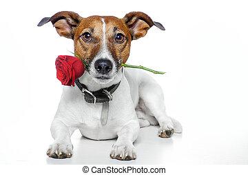 valentines, kutya