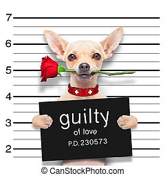 valentines mugshot dog - valentines chihuahua dog with rose...