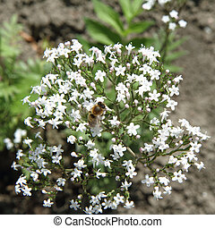 Valerian and bee - Valerian flowers blooming and a bee