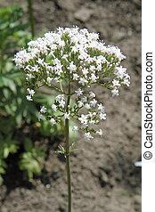 Valerian flower blooming