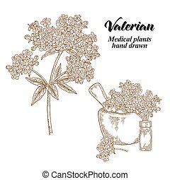 Valerian flowers and leaves isolated on white background. Medical herbs set. Vector illustration hand drawn.