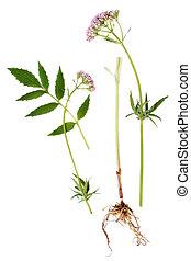 valerian, folha, raiz, e, flor