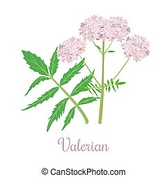 Valerian or Caprifoliaceae herb and flowers. vector illustration. Design for herbal tea, natural cosmetics, health care products, aromatherapy, homeopathy. For print, poster, logo, price tag label