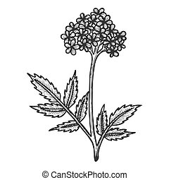 Valerian herb sketch engraving vector illustration. Scratch board style imitation. Black and white hand drawn image.
