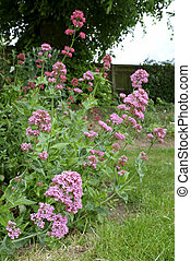 Valerian plant growing in a garden flower border. (Valeriana Officinalis)