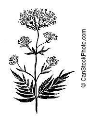 Ink black and white drawing of a valerian plant