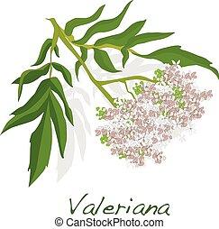 valeriana herb vector. - valeriana herb vector isolated.