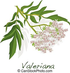 valeriana herb vector. - valeriana herb vector isolated.