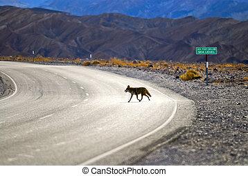 vallée mort, coyote
