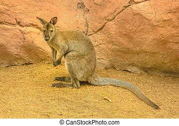 vallaby, australier