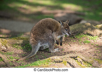 vallaby, wildlife, diprotodontia, macropoidae, in, sunlgiht,...