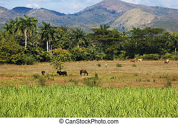 Valle de los Ingenios, Cuba - Cows and horses in Valle de...