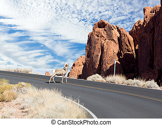 The bighorn sheep (Ovis canadensis) slowly goes the highway...
