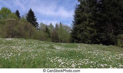 Valley with camomile flowers surrounded by green forest, sunny day