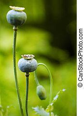 vallmo, huvuden, opium