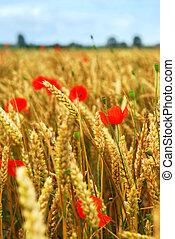 vallmo, korn, fält