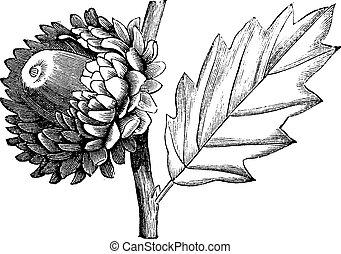 Valonia Oak vintage engraving - Valonia Oak or Quercus ...