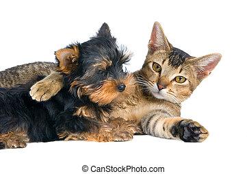 valp, av, den, spitz-dog, med, a, katt