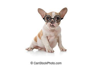 valp, hund, med, söt, uttryck, ateljé fotograferade
