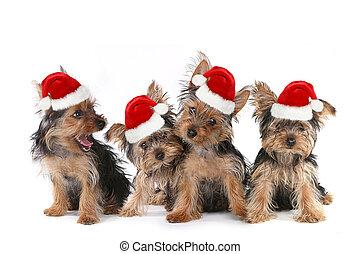 valp, hundkapplöpning, med, söt, uttryck, och, jultomten hatt