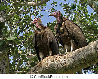 Valtures in a tree. - Two valtures looking for food from a...
