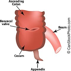 valve., colon., ileocecal, apendix., s, angle., isolé,...